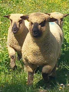 Nouveau des moutons Shropshire